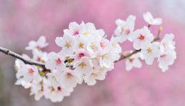 cherry_blosssoms2019