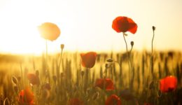 Poppy field under a sunset